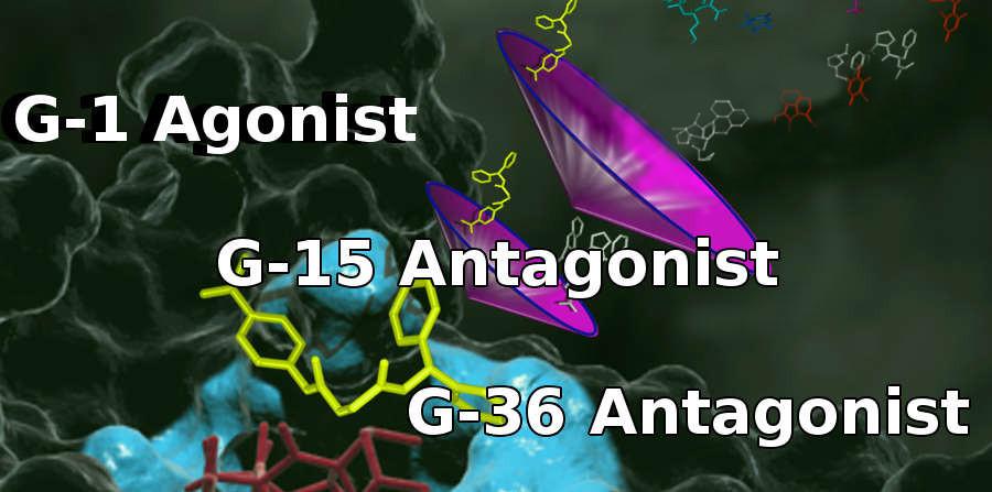 G Protein Estrogen Receptor