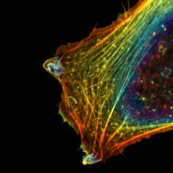 U2OS cells with actin staining, Z-projection