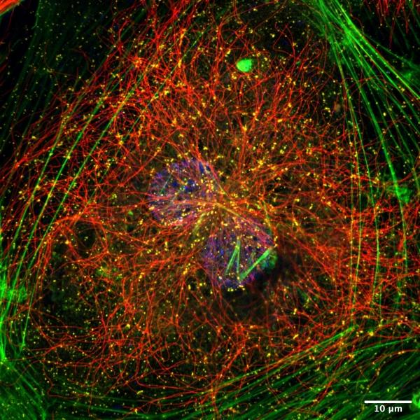 Huvec-cells-4C-1.nd2-RGB